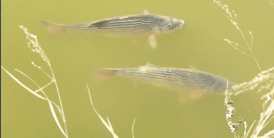 Texas Fish Hatchery Treats Toxic Golden Alga with Hydro-Optic™ Ultraviolet Disinfection